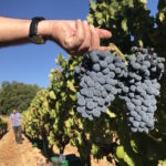 Weinlese auf Sardinien