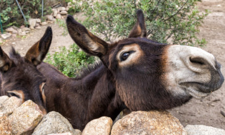 Esel und Eselwandern auf Sardinien