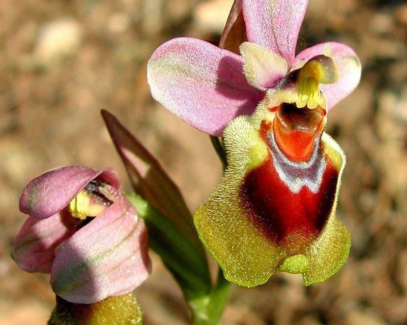 Frühling ist Orchideenzeit  – auf Sardinien!